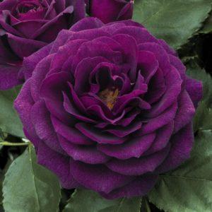 розы Флорибунды
